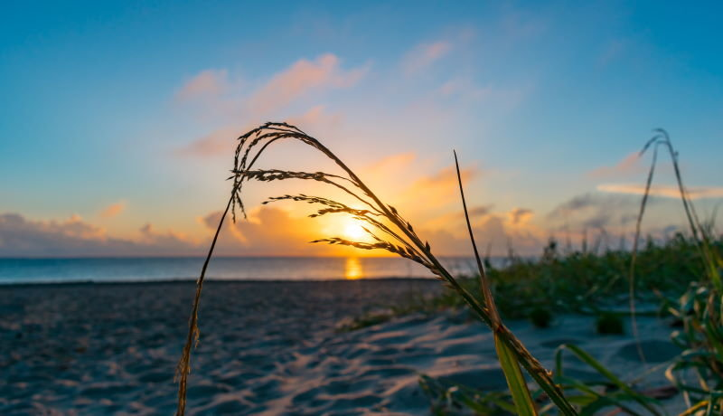 Sea Oats by the beach at Four Mile Village, Miramar Beach FL